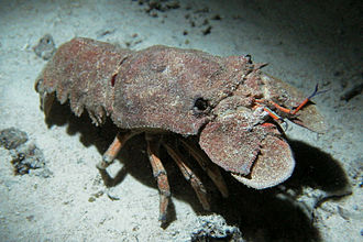 Antenna (biology) - The large flattened plates in front of the eyes of a slipper lobster are the modified second antennae.