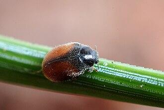 Scymninae - Striped dwarf pine ladybird (Scymnus suturalis)