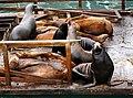 Sea Lion Symphony (4254906807).jpg