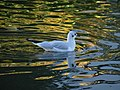 Seagull in golden water (30083342903).jpg
