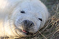 Seal - Donna Nook December 2009 (4195068449).jpg