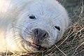 Seal - Donna Nook December 2009 (4195068449).jpg