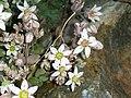 Sedum dasyphyllum (14970855059).jpg