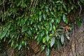 Seemannia sylvatica (Kunth) Hanst. (codiferous) 002.jpg