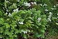 Selaginella sp., Mt Coot-tha Botanic Gardens, Toowong IMGP0020.jpg