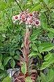 Sempervivum tectorum, familija Crassulaceae 10.jpg