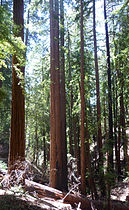 Sequoia sempervirens Big Basin Redwoods State Park 3.jpg
