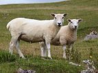 Sheep-cumbria.jpg