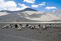 Sheep (3879122978).jpg