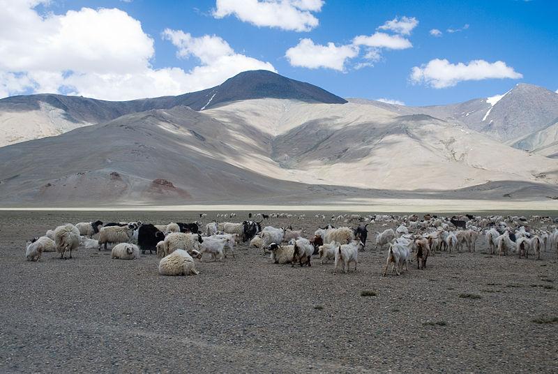 File:Sheep (3879122978).jpg