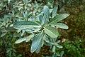 Shepherdia argentea kz02.jpg
