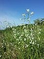 Silene nutans subsp. nutans sl4.jpg