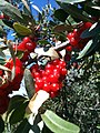 Silver Buffaloberry (11488629553).jpg