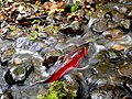 Silver Salmon in a Mountain Stream - panoramio.jpg