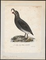 Simorhynchus cristatellus - 1825-1834 - Print - Iconographia Zoologica - Special Collections University of Amsterdam - UBA01 IZ17800191.tif