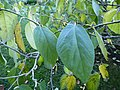 Sinowilsonia henryi-Jardin des plantes 03.JPG