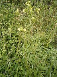 Sisymbrium altissimum plant.jpg