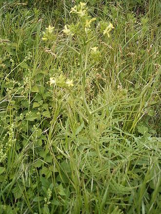 Sisymbrium - Jim Hill Mustard Sisymbrium altissimum