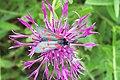 Six-spotted Burnet Moth - geograph.org.uk - 478239.jpg