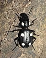 Six Spot Ground Beetle Anthia sexguttata by Dr. Raju Kasambe DSCN9917 (10).jpg