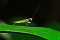 Small Mantis (Hapalopeza sp.) (8099754173).jpg