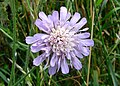 Small Scabious - geograph.org.uk - 516348.jpg