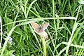 Small copper (NH) (27753159373).jpg