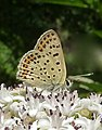 Small spotted butterfly, Sooty Copper. (7794543678).jpg