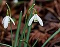 Sneeuwklokje (Galanthus nivalis). Locatie, Natuurterrein De Famberhorst 05.jpg