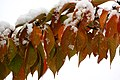 Snow-covered autumn leaves (6292482660).jpg