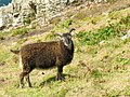 Soay sheep Lundy 2.jpg
