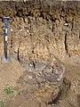 Soil profile in river alluvium, Gt Ouse floodplain SE of Bedford - geograph.org.uk - 225985.jpg