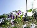 Solanum kitagawae 01.jpg