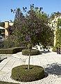 Solanum rantonnetii A.jpg