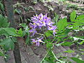 Solanum seaforthianum-flower-yercaud-salem-India.JPG