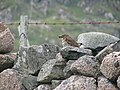 Song Thrush with full beak on a typical pink granite wall - geograph.org.uk - 867087.jpg