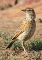 Song and dance routine of the Rufous-naped Lark, Mirafra africana at Rietvlei Nature Reserve, Gauteng, South Africa (15857350098).jpg