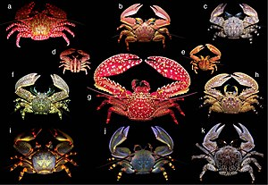 Carcinisation - Porcelain crabs resemble crabs, but are more closely related to squat lobsters and hermit crabs.