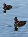 Southern Pochard, Netta erythrophthalma, at Marievale Nature Reserve, Gauteng, South Africa (29390525836).jpg