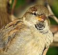 Sparrow in Kiev5.JPG