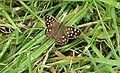 Speckled Wood butterfly - geograph.org.uk - 407484.jpg