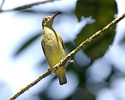 Spectacled-spiderhunter-b - Flickr - Lip Kee.jpg