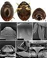 Sphaerius minutus (10.3897-zookeys.808.30600) Figures 1–9.jpg