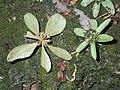 Sphenodesme flowers CTNP RPB.jpg
