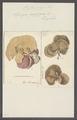 Spongia papyracea - - Print - Iconographia Zoologica - Special Collections University of Amsterdam - UBAINV0274 112 02 0039.tif