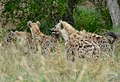 Spotted Hyenas (Crocuta crocuta) waiting to have their share of a lion's kill ... (50130574443).jpg