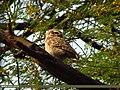 Spotted Owlet (Athene brama) (15892425641).jpg