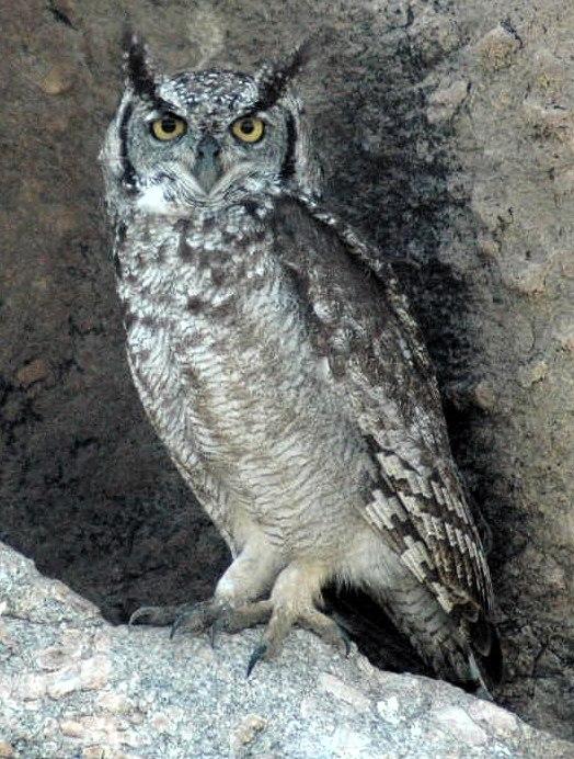 Spottedeagleowl