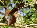 Squirrel Cuckoo (Piaya cayana) (48329797607).jpg