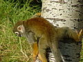 Squirrel Monkey 03.jpg